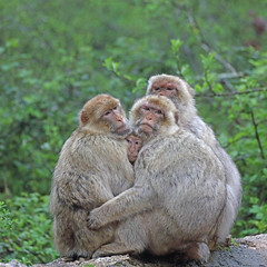 Group hug 1 (M_squared Images) Tags: france lot rocamadour barbarymacaque macacasylvanus fortdessinges msm1935