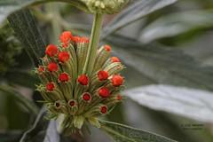 Flower 5 (gorrarroja) Tags: espaa flower macro valencia spain flor macrophotography macrofotografa