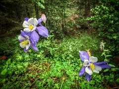 (Daswikinger) Tags: flowers trees green colors leaves forest colorado july canopy mtevans undergrowth dasviking daswikinger trademarkchrisharlanphotography2016