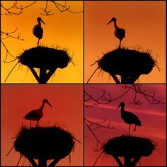 CIMG9630 sunset stork silhouettes (pinktigger) Tags: sunset italy bird nature silhouette italia stork friuli fagagna friul cicogna oasideiquadris feagne vigilantphotographersunite vpu2 vpu3