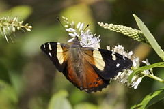 Kahukowhai  Yellow Admiral - Vanessa itea (Steve Attwood) Tags: newzealand vanessa nature canon butterfly insect wildlife wellington karorisanctuary zealandia yellowadmiral kahukowhai vanessaitea