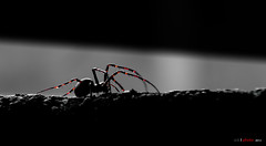 The hunting Shelob (bent inge) Tags: macro norway spider edderkopp araneae bentingeask