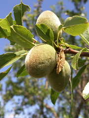 Furry Nuts (Annie in Beziers) Tags: france tree nature leaves spring almonds greenery growing languedoc hrault annieinbziers