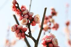 Plum (nagaha) Tags: park spring plum