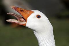bird nature tongue teeth goose