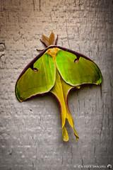 Lakeside Moth (grfern) Tags: insect moth missouri lakeoftheozarks niksoftware canon40d lightroom3