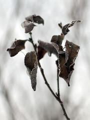 Frozen Leaves (Nick P Lee) Tags: winter snow leaves frozen frost bokeh photobook nicklee nikond40x klauseggs