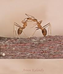 Aroon Kalandy Romance at Tree Tops (aroon_kalandy) Tags: macro tree love kiss romance ants tamron aroonkalandy