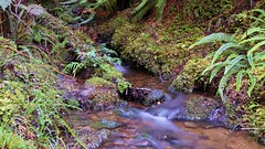 Little stream in the forest (Tomas Sobek) Tags: newzealand cold fern nature water forest moss stream soft thirst southland moist tuataperehumpridgetrack