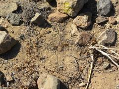 DSCN8643 (Robby's Sukkulentenseite) Tags: chile cactus cacti coquimbo reise kaktus kakteen standort loschoros eltrapiche neochilenia heinrichiana vortrag1 chorosensis ka4118s