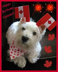 "6/12B ~ Riley is ""Proud To Be A Canadian"" (ellenc995) Tags: birthday canada riley flag westie mapleleaf sensational westhighlandwhiteterrier redandwhite july1 coth supershot akob pet100 rubyphotographer 100commentgroup yearofholidays ayearofholidays coth5 naturallywonderful top25redorangeandyellow 12monthsfordogs12 thesunshinegroup sunrays5"