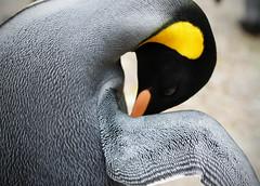 King penguin - (Aptenodytes patagonicus) (Joe__M) Tags: uk england detail closeup canon fun prime cotswolds gloucestershire explore mission dslr 50mmf14 dayout bourtononthewater kingpenguin aptenodytespatagonicus birdlandpark eos7d
