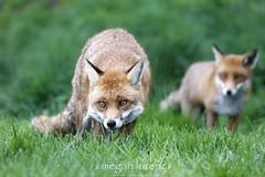 Fox Pair (Megan Lorenz) Tags: uk greatbritain travel wild two england nature animal mammal wildlife pair surrey fox april getty wildanimals redfox mlorenz meganlorenz may2012