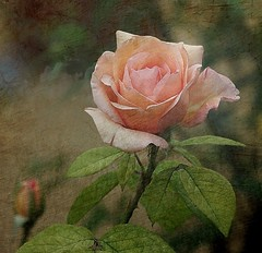 A rose (mamietherese1) Tags: roses expression ngc textures shining magicalmoments deepavali paragon ourtime gpc mfcc coth callingallangels imagepoetry artdigital bej contemporaryartsociety fantasticnature innamoramento impressedbeauty flickrdiamond memoriesbook newacademy overtheexcellence theenchantedcarousel tatot goldenart sublimemasterpiece artistictreasurechest dontworrybehappy imagicland coth5 magicunicornmasterpiece sailsevenseas coppercloudsilvernsun sublimeflowershot sublimerose fleursetpaysages thegalleryofflowerseffe exoticimage agorathefineartgallery phoeniximmortal itsallaboutflowers odetojoyodealegria netartii galleryoffantasticshots flickrstruereflection flickrstruereflection1 flickrstruereflection2 flickrstruereflection3 artcityart trueexcellence1 rememberthatmomentlevel1 flickrsfinestimages1 rememberthatmomentlevel2 rememberthatmomentlevel3