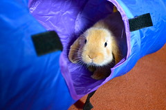 Tunnel fun! (mylo_rabbit) Tags: baby cute rabbit bunny furry play peekaboo secret adorable fluffy tunnel hide playtime hehe bun mylo houserabbit
