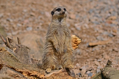 I would quite like a Meerkat... (Sharon Dow Photography) Tags: uk cute london eyes meerkat nikon watching lookout paws londonzoo zsl june2012 d3100