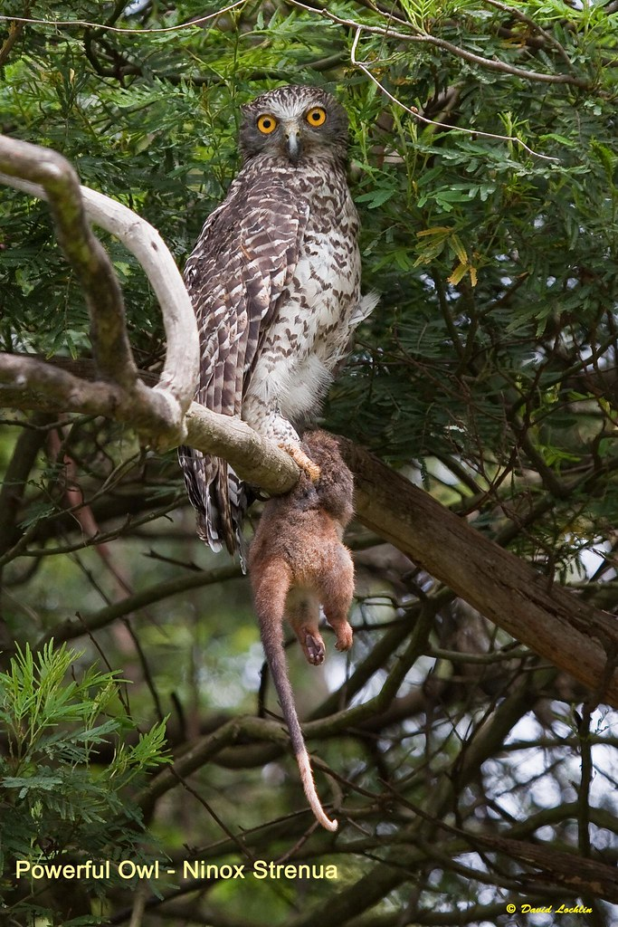 Powerful Owl - Ninox Strenua by David Lochlin, on Flickr