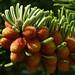 Abies nordmanniana ssp. equi-trojani #5