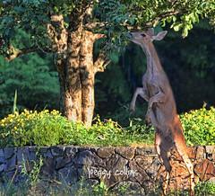 Dancing Deer (Peggy Collins) Tags: canada dance dancing britishcolumbia deer pacificnorthwest sunshinecoast appletree standup ingenuity bustamove blacktaileddeer dancingdeer standupandbecounted dancinganimals deereatingapples peggycollins deerstanding deeronhindlegs