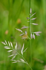 Flowering grasses : Festuca rubra : Red Fescue (Edinburgh Nette) Tags: grasses rubra festuca july12