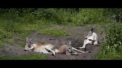 Lazy (Djenzen) Tags: zoo kangaroo emmen dierentuin dierenpark kangeroe