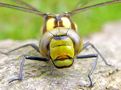 Southern Hawker (edmerr) Tags: new grass forest insect log eyes dragonfly head july hampshire southern hawker southernhawker