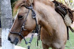Cavalo (Inez Rivas) Tags: horse campo stio cavalo riograndedosul sela lide viamo