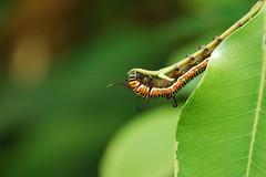 Caterpillar (Rups) (Romanie de Groot) Tags: holland green animals butterfly zoo flora nikon groen insects caterpillar dieren rups drenthe emmen dierentuin d60 vlindertuin f3556 18105mm