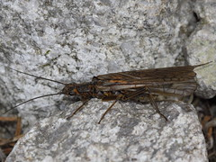 Plecoptera - stonefly (gbohne) Tags: closeup canon insect al insects insekt animalia arthropoda insekten unidentified insecta pterygota neoptera taxonomy:class=insecta taxonomy:phylum=arthropoda taxonomy:order=plecoptera 100mmf28canon taxonomy:infraclass=neoptera geo:country=slovakia geo:region=europe taxonomy:superorder=exopterygota steinfliegen taxonomy:subcalss=pterygota
