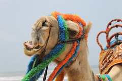Colorful Camel (soumen19xx) Tags: camel animal eos canon india blue green color 1100d 1855mm art asia digital focus blur closeup defocus t3 stillphotography photos sky moments geotagged natural outdoor fauna single water waves