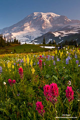 Mount Rainier above Flowers (Don Geyer) Tags: wild summer usa mountain mountains nature ecology landscape outside outdoors dawn landscapes washington twilight flora scenery natural outdoor ambientlight scenic meadow meadows glacier foliage mountrainier mountrainiernationalpark cascades glaciers ambient northamerica backcountry environment summertime wilderness dawning paintbrush scenics summers ecosystem cascaderange environments wilds dawns summertimes twilights ecosystems uncultivated bractedlousewort stickytofieldia mountrainieraboveflowermeadowsonmazamaridgebeforesunris westernanemome mountrainieraboveflowermeadowsonmazamaridgebeforesunrise