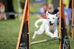 Today's Agility Competition & My Shooting (StafbulCZ) Tags: dog dogs jumping nikon agility tamron jicin tamron70300 d700 stafbulcz jaroslavvondracek stafbulczgmailcom zkojicin