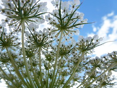 Daucus carota (common names include wild carrot, (UK) bird's nest, bishop's lace, and (US) Queen Anne's lace) (Peggy2012CREATIVELENZ) Tags: blue sky white ontario canada green closeup clouds queenanneslace humberbaypark peggy2012creativelenz p1190735a