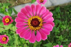 Magenta (Itsnotme!) Tags: pink nepal flower magenta bloom