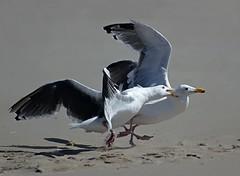 Bully (gordeau) Tags: seagulls biting gordon bully ashby agression flickrchallengegroup flickrchallengewinner gordeau