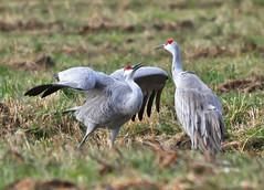 JP 47 (Jan Crites) Tags: park autumn fall nature birds nikon sigma indiana cranes migration sandhillcranes d90 jasperpulaski jasperpulaskifishandwildlifearea medaryville 150500mm