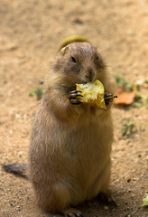 Fruit hat (CecilieSonstebyPhotography) Tags: barcelona apple animal canon zoo eating beaver canon60d ef70200mmf4lisusm canoneos60d