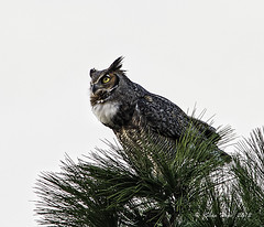 Great Horned Owl - Female (stan hope) Tags: usa tree nature birds nikon florida wildlife ngc npc nik sebring d3 birdsofprey floridawildlife greathornedowls specanimal highlandscounty specanimalphotooftheday nikssoftware