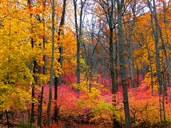 Autumn on Fire (Stanley Zimny) Tags: park pink autumn tree fall fire newjersey 1110 ringwood