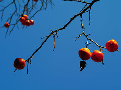 IMGP9963 (oasisframe) Tags: blue autumn trees red fall yellow fruit bluesky korea persimmon southkorea fruitful     persimmontrees koreaimage mellowedpersimmon