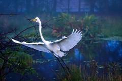 Great White Egret (DirectX1) Tags: travel water exterior florida everglades whiteegret floridaeverglades naturallighting northamericanbirds evergladeswildlife markandrewthomasphotography
