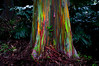 Painted eucalyptus (Four Straites) Tags: tree island hawaii rainbow maui rainbowtree