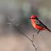 Vermilion Flycatcher amidst the thorns!