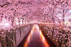 Тоннель из сакуры, Япония