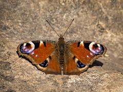 Peacock Butterfly (i.scott) Tags: butterfly peacock huttonroofcrag