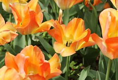 Sherwood Gardens ~ orange/yellow tulips - HTT! (karma (Karen)) Tags: flowers gardens tulips maryland baltimore brightcolors htt sherwoodgardens 4spring cmwdorange
