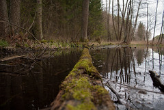 Fallen tree in a swamp (modestmoze) Tags: blue trees sky plants brown white lake black reflection tree green nature water grass yellow clouds forest outside outdoors moss spring day shadows branches logs swamp april treeline lithuania vilnius 2016 500px