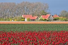 2016-04 Uitbundige kleuren mogen weer op Goeree (Dirksland/NL) (About Pixels) Tags: 0416 2016 april bloemen collecties dirksland goeree holland lenteseizoen mnd04 natuur nederland tulpen geldersedijk netherlands nl nikond7200 tulips flowers flora bollenteelt bollen tulpenbollen tulpenveld polder specials zuidholland
