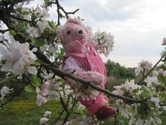 Rschen schaukelt zwischen den Apfelblten und freut sich.. (evioletta) Tags: rosa mai garten apfelbaum blten weis rschen