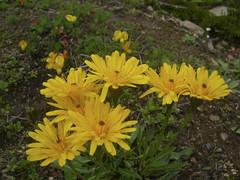 Habichtskraut (aletscharena) Tags: schweiz sommer wallis bettmeralp unescowelterbe alpenblumen alpenkruter aletscharena